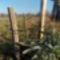 Novemberben ültetett császárfa csemete.