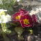 Tavaszi virágaim. 7