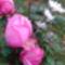 Utolsó rózsaszálaim