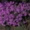 Árlevelű lángvirág (Janus)