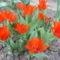 Botanikai Tulipán