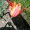 círmos tulipán