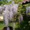 lila akác virág zuhatag