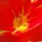 tulipán közepe
