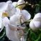 Lepke Orchidea  /közelröl/