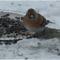 téli madarak 10 Madárvilág_Várda_2009_ január-77