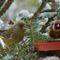 téli madarak 12 Madárvilág_Várda_2009_ január-83