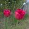 2011 tulipán