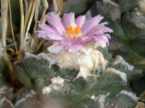 ariocarpus fissuratus v sanluispotosi/téltűrő