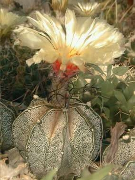 astrophytum capricorne/ téltűrő