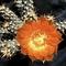 austrocactus_hibernus