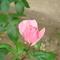 Tavajültetett rózsám első virágja