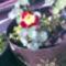 Kép007 Bohócvirág
