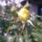 Kép018 Sárga rózsám első bimbója