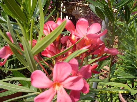 Lazacrózsaszín leander