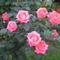 virág 009 Rózsacsokor