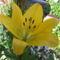 virág 012 Sárga liliom