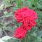 virág 021 Mini rózsa esőcseppekkel