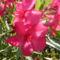 pinkrózsasz