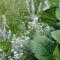 nyár 036 Virágzó nyuszifül