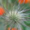 virág 005 Leánykökörcsin termése