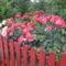 előkertben a kerités mögött 2011