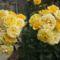 ez két szál rózsa