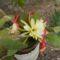 gyönyörű kaktuszom