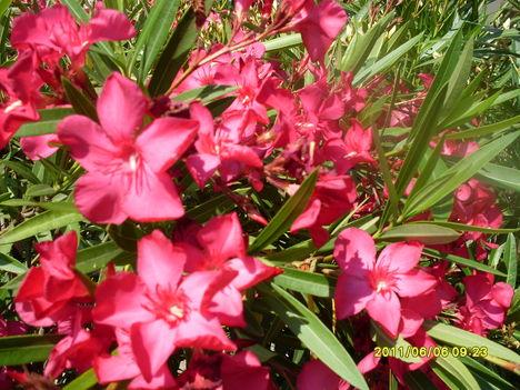 Pink rózsaszín