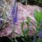virág 006 Mini zsálya