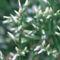 virág 009 Évelő sóvirág bimbósan