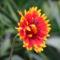 virág 013 Kokárdavirág