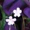 virág 022 Oxalis Évikétől