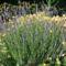 virág 042 Levendula és Ligetszépe