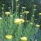 virág 015 Sárga Cickafark