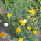 virág 026 Kaliforniai mák