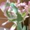 különleges tulipán