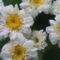 virág 008 Morzsavirág (Balzsamos aranyvirág)