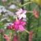 virág 022 Díszdohány