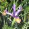 virág 023 Holland Írisz