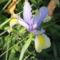 virág 024 Holland Írisz