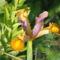virág 025 Holland Írisz