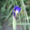 virág 027 Holland Írisz