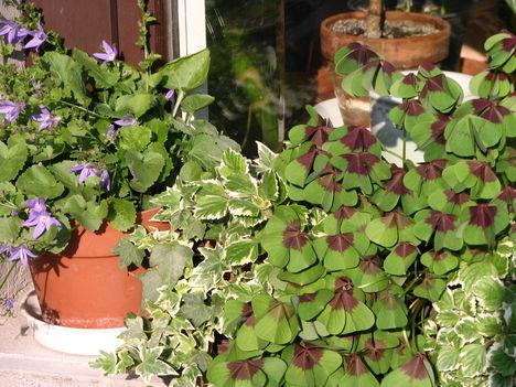 virág 035 Vegyesen az ablakban