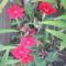 virág 045 Szegfű