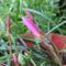 virág 049 Zefírvirág bimbósan