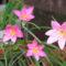 virág 056 Zefírvirág