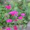 virág 058 Lila szegfűk