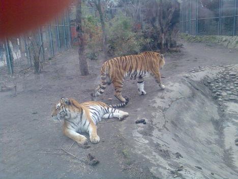 Nyugodt tigrisek...