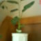fésűvirág